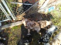 Australian Shepherd Puppies for sale in Jacksonville, NC 28540, USA. price: NA