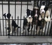 Australian Shepherd Puppies for sale in Taunton, MA, USA. price: NA