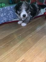 Australian Shepherd Puppies for sale in Camden, OH 45311, USA. price: NA