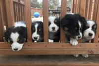Australian Shepherd Puppies for sale in Granville County, NC, USA. price: NA