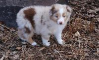 Australian Shepherd Puppies for sale in Hansville, WA, USA. price: NA