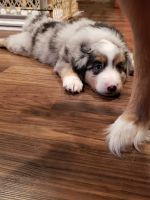 Australian Shepherd Puppies for sale in Fremont, MI, USA. price: NA