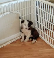 Australian Shepherd Puppies for sale in Hayden Lake, ID 83835, USA. price: NA
