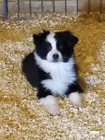 Australian Shepherd Puppies for sale in Portland, IN 47371, USA. price: NA