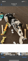 Australian Shepherd Puppies for sale in El Paso, TX, USA. price: NA