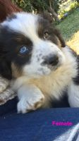 Australian Shepherd Puppies for sale in San Bernardino, CA, USA. price: NA