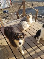 Australian Shepherd Puppies for sale in Monona, IA 52159, USA. price: NA