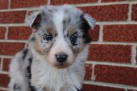 Australian Shepherd Puppies for sale in Tyner, KY 40486, USA. price: NA