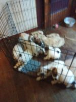 Australian Shepherd Puppies for sale in Pineville, LA, USA. price: NA