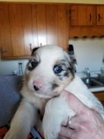 Australian Shepherd Puppies for sale in Rutledge, TN 37861, USA. price: NA