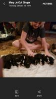 Australian Shepherd Puppies for sale in Lee County, FL, USA. price: NA
