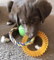 Australian Shepherd Puppies for sale in Grain Valley, MO, USA. price: NA