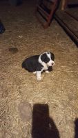 Australian Shepherd Puppies for sale in Sioux City, IA, USA. price: NA