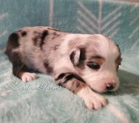 Australian Shepherd Puppies for sale in Grand Saline, TX 75140, USA. price: NA
