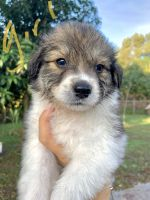 Australian Shepherd Puppies for sale in Bradenton, FL, USA. price: NA