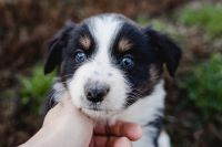 Australian Shepherd Puppies for sale in Red Bud, IL, USA. price: NA