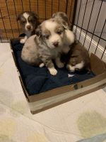 Australian Shepherd Puppies for sale in Circleville, KS 66416, USA. price: NA