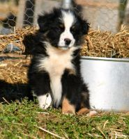 Australian Shepherd Puppies for sale in Dunlap, TN 37327, USA. price: NA