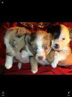 Australian Shepherd Puppies for sale in Sebeka, MN 56477, USA. price: NA