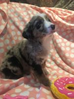 Australian Shepherd Puppies for sale in Wellington, CO 80549, USA. price: NA