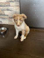 Australian Shepherd Puppies for sale in East Side, Chicago, IL 60617, USA. price: NA
