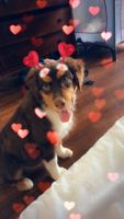 Australian Shepherd Puppies for sale in Walterboro, SC 29488, USA. price: NA