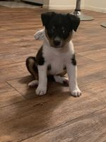 Australian Shepherd Puppies for sale in Dallas, TX, USA. price: NA