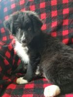 Australian Shepherd Puppies for sale in Factoryville, PA 18419, USA. price: NA