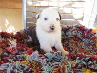 Australian Shepherd Puppies for sale in 39523 L and W Ln, Pendleton, OR 97801, USA. price: NA