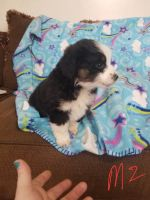 Australian Shepherd Puppies for sale in Nathalie, VA 24577, USA. price: NA