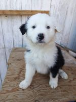 Australian Shepherd Puppies for sale in Barstow, CA 92311, USA. price: NA