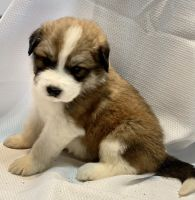 Australian Shepherd Puppies for sale in McLennan County, TX, USA. price: NA