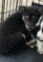 Australian Shepherd Puppies for sale in Garland, TX 75040, USA. price: NA