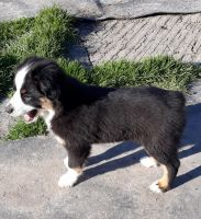 Australian Shepherd Puppies for sale in Euless, TX 76040, USA. price: NA