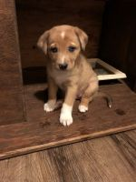 Australian Shepherd Puppies for sale in Jamestown, CA 95327, USA. price: NA