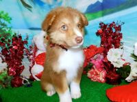 Australian Shepherd Puppies for sale in Hammond, IN, USA. price: NA