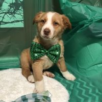 Australian Shepherd Puppies for sale in Rosedale, IN 47874, USA. price: NA