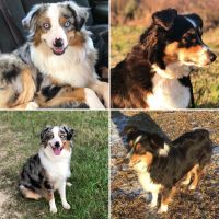 Australian Shepherd Puppies for sale in Ramseur, NC 27316, USA. price: NA