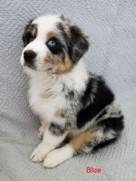 Australian Shepherd Puppies for sale in Aiken, SC, USA. price: NA
