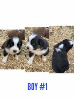 Australian Shepherd Puppies for sale in Purcell, OK, USA. price: NA
