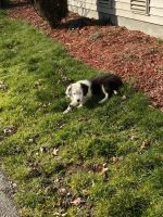 Australian Shepherd Puppies for sale in Tacoma, WA, USA. price: NA