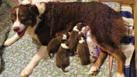 Australian Shepherd Puppies for sale in Spartanburg, SC, USA. price: NA