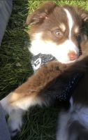 Australian Shepherd Puppies for sale in Fort Worth, TX, USA. price: NA