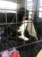 Australian Shepherd Puppies for sale in Mission Viejo, CA, USA. price: NA