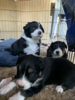 Australian Shepherd Puppies for sale in Pico Rivera, CA, USA. price: NA