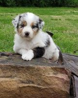 Australian Shepherd Puppies for sale in Alameda, CA, USA. price: NA