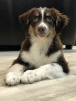 Australian Shepherd Puppies for sale in Central Islip, NY 11722, USA. price: NA