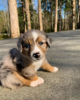 Australian Shepherd Puppies for sale in San Jose, CA, USA. price: NA
