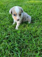 Australian Shepherd Puppies for sale in Stark City, MO 64866, USA. price: NA