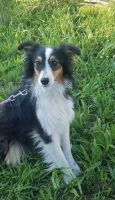 Australian Shepherd Puppies for sale in Fayetteville, AR, USA. price: NA